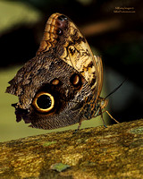 Owl Butterfly, Butterfly Rainforest Exhibit, Florida Museum of Natural History, Gainesville