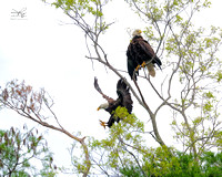 Eagle, St Johns River, Florida, Ocala National Forest