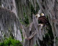 Eagle, St Johns River, Florida, Ocala National Forest, Silver Glen Springs