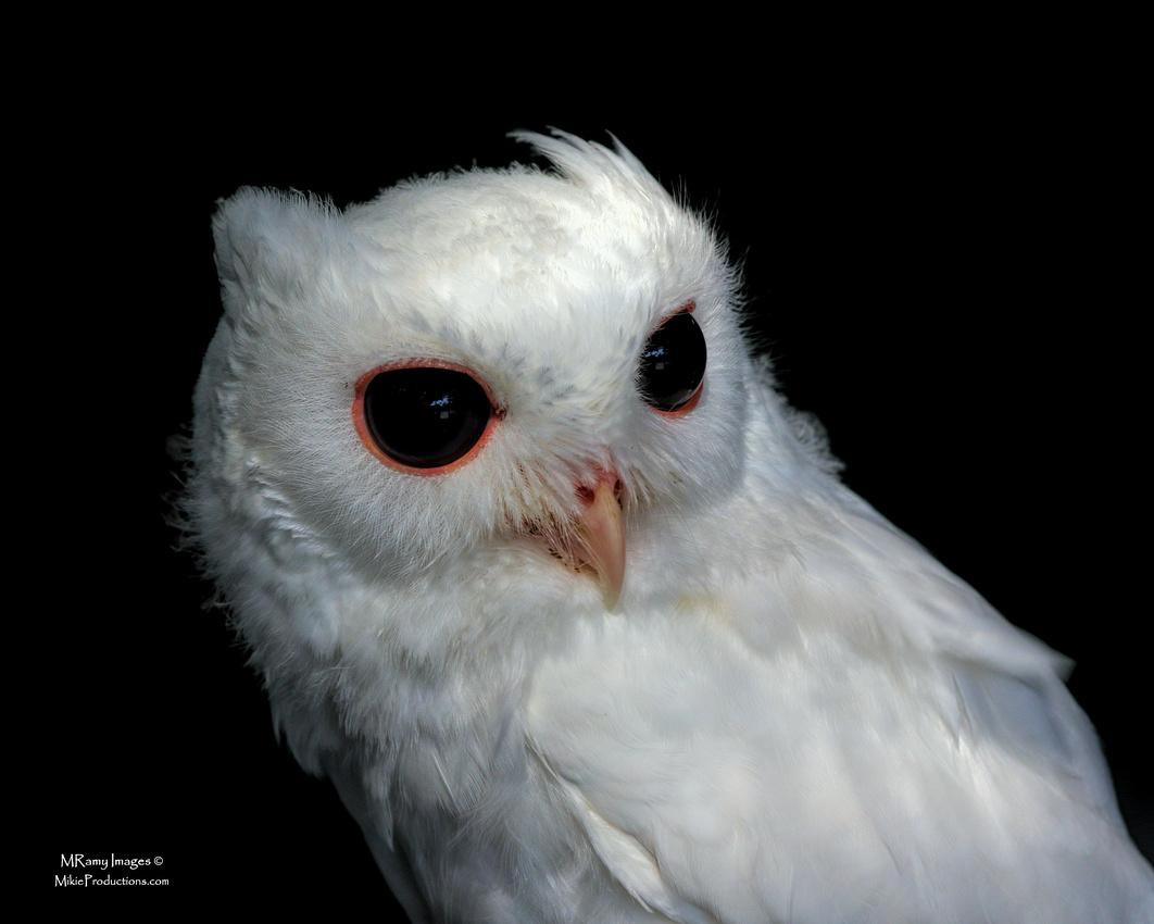 Screech Owl, Peace River Wildlife Center, Luna, Punta Gorda, Florida
